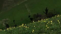 20160416-007F (m-klueber.de) Tags: flora primula echte kaiserstuhl primulaceae 2016 badenwrttemberg badberg sdbaden europische veris oberrheintal schlsselbume primelgewchse mitteleuropische mkbildkatalog 20160416 20160416007f