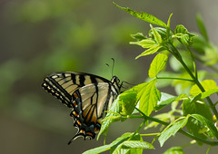 Tiger in the Light (Bonnie Ott) Tags: butterfly daniels tigerswallowtail patapscovalleystatepark