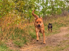 Roxy and her sister Chloe (MSVG) Tags: park dog fish canada calgary creek puppy shepherd chloe rottweiler german alberta boxer pup roxy rottweiller provincial