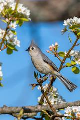 Tufted Titmouse (jackdean3) Tags: flowers bird nature jack spring kentucky wildlife dean blooms tuftedtitmouse