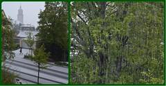Zurich (end of April 2016): A capricious spring (Ioan BACIVAROV Photography+3,900,000visits-Thanks) Tags: street winter snow tree green spring hiver zurich snowstorm april 2016 capricious bacivarov