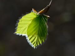 Junge Buchenbltter (Caora) Tags: buchenwald balticsea april rgen ostsee ruegen beech fagussylvatica rotbuche buchenhallenwald