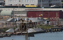 Pier 80 House Guests 4-2016 (daver6sf@yahoo.com) Tags: bird portofsanfrancisco ospray pier80