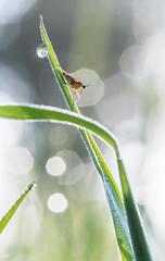 L'insecte et la goutte (15). (gille33) Tags: macro nature insect drops waterdrop bokeh drop droplet waterdrops goutte insecte insectes sigma150 nikond810 gillesremus