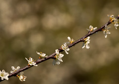 Blackthorn (Unni Henning (partly offline)) Tags: flowers england white macro tree closeup garden spring bush hedge warwickshire blackthorn