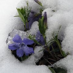 IMG_0829 qe (MaggieDu) Tags: winter snow flower ice spring vinca