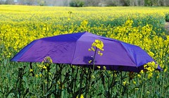 Guten Start in die neue Woche... (   flickrsprotte  ) Tags: natur feld gelb raps schleswigholstein regenschirm schirm flickrsprotte