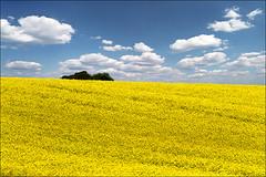 Yellow field (Katarina 2353) Tags: film landscape spring nikon europe serbia vojvodina srbija katarinastefanovic katarina2353