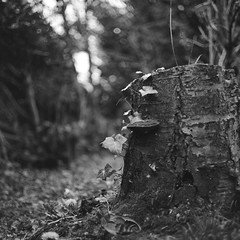 Tree trunk (•Nicolas•) Tags: bronica s2 zenza vintage camera old collection collectible nb bw ilford lc29 rapidfixer fp4 125iso nicolasthomas garden jardin tree arbre champignon mushroom lierre ivy wood bois bokeh leaf feuille trunk souche nikkor film pellicule 6x6 120 analog moyenformat mediumformat explored
