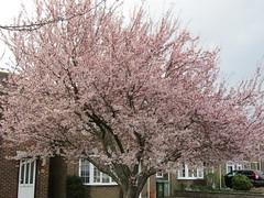 Cherry blossom (wallygrom) Tags: flowers england tree spring westsussex blossom cherryblossom prunus pinkflowers angmering merryfieldcrescent