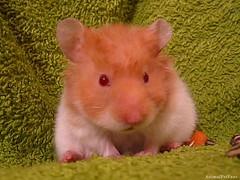 Hamster Srio (AnimalPetFans) Tags: pet pets animal animals hamster fans syrian criceto auratus srio mesocricetus