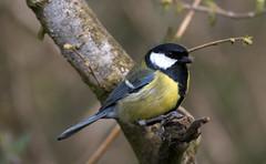 Great Tit (iiisecondcreep) Tags: colour bird fauna scotland spring wildlife feather naturereserve greattit parusmajor rspb 300mmf4 baronshaugh scottishwildlife gardenbird britishbird northlanarkshire canon70d kenkopro300dgx