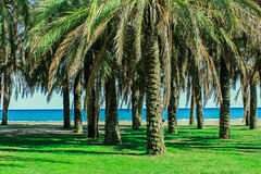Palm Trees on the beach (Emily_Fletcher) Tags: blue trees sea holiday green beach beautiful spring spain warm sandy relaxing calming sunny palm shade malaga