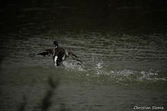 _DSC0522 (chris30300) Tags: france heron de pont parc oiseau camargue gau saintesmariesdelamer flamant provencealpesctedazur ornithologique