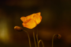 Poppy glow HSS (Irina1010) Tags: flower macro nature canon bokeh ngc poppy hss deoplets