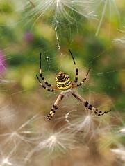 Argiope bruennichi. (quarzonero ...Aldo A...) Tags: nature spider argiopebruennichi coth piumini ragnovespa