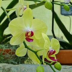 Panasonic FZ1000, Orchids, Botanical Gardens, Montral, 24 April 2016 (13) (proacguy1) Tags: orchids montral botanicalgardens panasonicfz1000 24april2016