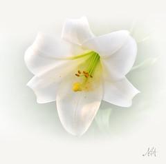 Happy Easter! (master Doratan) Tags: white lily whitebackground pascha orthodoxeaster