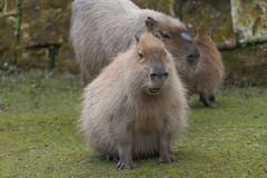 Capybara 2016-04-01-0292 (bzd1) Tags: nature animal mammal natuur capybara rodentia capibara hydrochoerushydrochaeris gaiapark chordata vertebrata hydrochoerus hystricomorpha hydrochoerinae chordadieren gaiazoo vaviidae