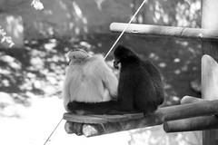 Black n white (J D L R) Tags: white black blanco de zoo la noir sony negro alpha tamron bianco blanc nero singe 58 70300 palmyre