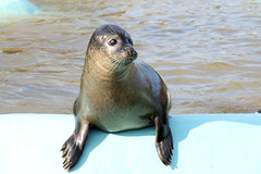 Common Seal (NTG's pictures) Tags: zoo wildlife center seal common sanctuary mablethorpe
