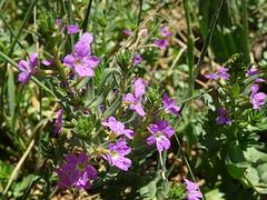Anglų lietuvių žodynas. Žodis lythrum hyssopifolia reiškia Lithrum Hyssopifolia lietuviškai.