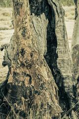 IMG_5441 (gaujourfrancoise) Tags: nt australia downunder northernterritory australie kakadunationalpark deadtrees arbresmorts gaujour