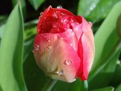 Tulpe (Gartenzauber) Tags: doublefantasy floralfantasy perfectpetals saariysqualitypictures contactgroups