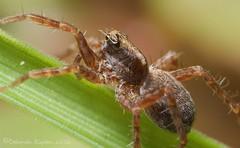 Wolf spider (riggy-riggo) Tags: macro nature woodland spider kent spring wildlife arachnid wolfspider canonmpe65mm defusedflash canon5dmarkll deborahrigden riggyriggo debbierigden