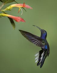 Violet Sabrewing (Eric Gofreed) Tags: costarica hummingbird violetsabrewing basquedepaz