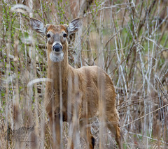 deer 4_26 (krisinct- Thanks for 12 Million views!) Tags: canon mark ii 7d 500 f4