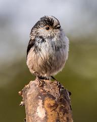 LTT (hank3775) Tags: england bird nature garden long tit wildlife hampshire tailed