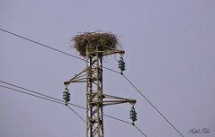 Nido Cicogna bianca -  Nest of White Stork (Ciconia ciconia)  -   ( Explored ) (Michele Fadda (Shots in Time)) Tags: sardegna italy bird nature sardinia nest natura avifauna uccello whitestork ciconiaciconia cicognabianca nikone4800 photoscape michelef canoneos70d faunaprotetta inliberta