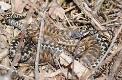 courting adders, Vipera berus (willjatkins) Tags: macro snake viper snakes britishwildlife adder adders vipera viperaberus sigma105mm londonwildlife ukwildlife springwildlife britishsnakes britishreptiles londonsnakes matingsnakes londonreptiles macrowildlife uksnake uksnakes britishreptilesandamphibians ukreptiles nikond7100 ukamphibiansandreptiles ukreptilesandamphibians britishamphibiansandreptiles matingadders snakesofeurope ukherpetofauna courtingadders