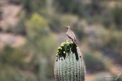 I love the spring!  It's so much easier on the tootsies when I don't have to stand on the spines! (Squirrel Girl cbk) Tags: arizona us unitedstates roosevelt april saguaro sonorandesert gilawoodpecker 2016