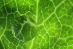 playing with a drop of water (marie1179) Tags: green leaf waterdrop