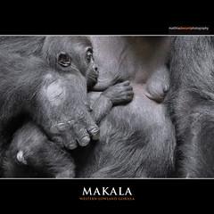MAKALA (Matthias Besant) Tags: baby animal animals mammal deutschland zoo monkey tiere hessen gorilla ape monkeys mammals apes fell tier affen primates affe zolli zoobasel primat hominidae primaten querformat saeugetier saeugetiere menschenaffen hominoidea trockennasenaffe menschenartige affenfell menschenartig affenblick matthiasbesant