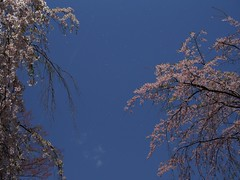 from sky (murozo) Tags: tree japan cherry spring blossom petal   sakura  akita  semboku kakunodate