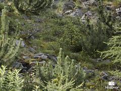 Marmots (Huetzi) Tags: marmot alpen venet murmeltier tztaler grahberg venetmassiv