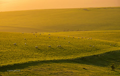 This is England (pietkagab) Tags: uk trip travel england trekking landscape photography countryside sheep pentax britain hike hills adventure fields eastsussex goldenhour beachyhead k5 graze pentaxk5ii pietkagab piotrgaborek