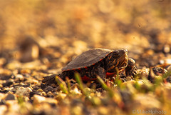 Baby turtle (mike hinz) Tags: nature wisconsin nikon explore d200