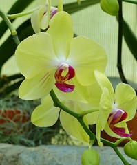 Panasonic FZ1000, Orchids, Botanical Gardens, Montral, 24 April 2016 (14) (proacguy1) Tags: orchids montral botanicalgardens panasonicfz1000 24april2016