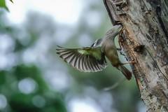 Feeding Ballet Sturnus malabaricus () Tags: bird