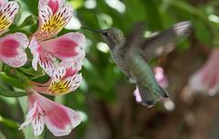 Alstro Hummer 1 (pictureted) Tags: nikon hummingbird alstroemeria d500 200500vr