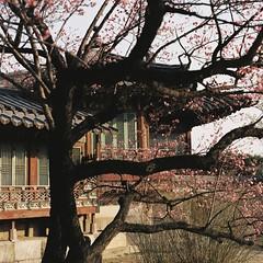 Secret Garden Blossoms (Lig Ynnek) Tags: flowers tree architecture spring blossoms 400 seoul southkorea portra changdeokgung 105mm pentax67