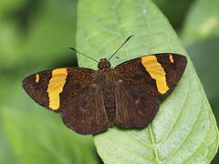 Celaenorrhinus aurivittatus cameroni, The Dark Yellow-banded Flat (Green Baron Pro) Tags: butterfly lepidoptera malaysia frasershill hirez hesperiidae highpines pyrginae 201510