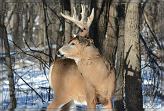 {Winter Buck Profile - I.} (Wolverine09J ~ 1 Million + Views) Tags: magiceye winterbeauty whitetaildeer winterbuck sweetfreedom amazingcapture minnesotawildlife thebeautyofnature fantasticwildlife naturescreations fantasticnaturegroup naturesprime dagmarsanimalfarm level1allnaturesparadise level2allnaturesparadise forestwoldlife sjohnsonsfauna 1goldwildlife level1thewondersofnature level2thewondersofnature level3thewondersofnature newyeardeer2016 woodlandbuck buckalerted