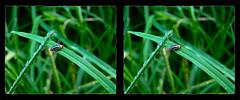 Disonycha Glabrata, Pigweed Flea Beetle 3 - Cross-eye 3D (DarkOnus) Tags: macro beautiful closeup bug insect lumix stereogram 3d crosseye pennsylvania butt beetle panasonic stereo flea thursday stereography buckscounty glabrata crossview pigweed disonycha dmcfz35 beautifulbugbuttthursday