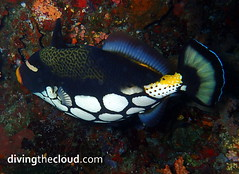Clown triggerfish - Pez ballesta payaso (divingthecloud) Tags: sea fish pez mar agua diving maldives buceo maldivas fotosub clowntriggerfish bajoelagua pezballestapayaso