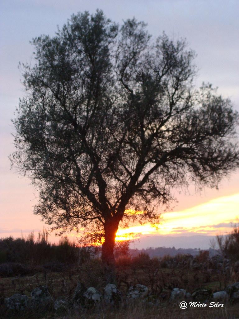 Águas Frias (Chaves) - ... oliveira ao pôr do sol de inverno ...